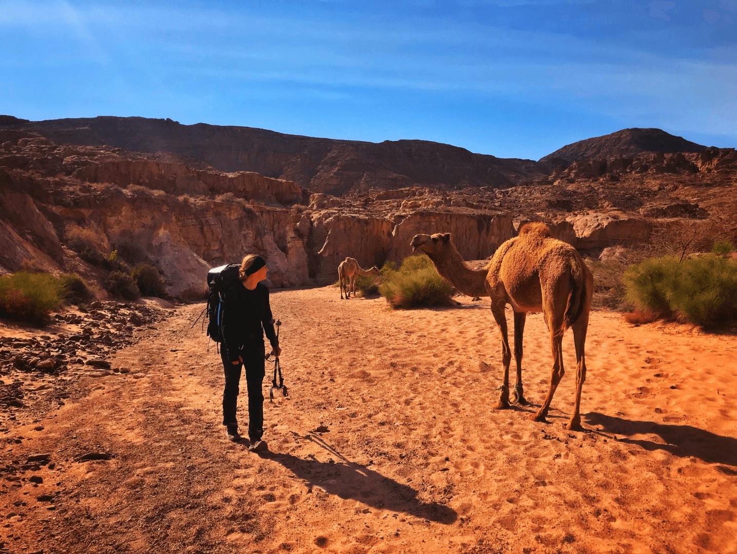 Kameel in wadi